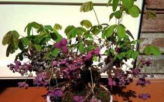 Выращивание и уход на даче за шоколадной лианой акебие
