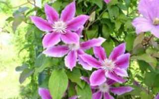 Клематис, или ветвь винограда