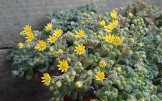 Эониум: выращивание и уход в домашних условиях