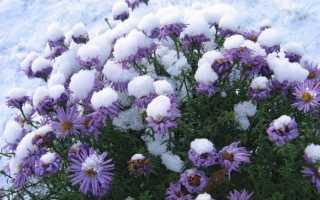Правила ухода за хризантемами осенью и их подготовка к зиме