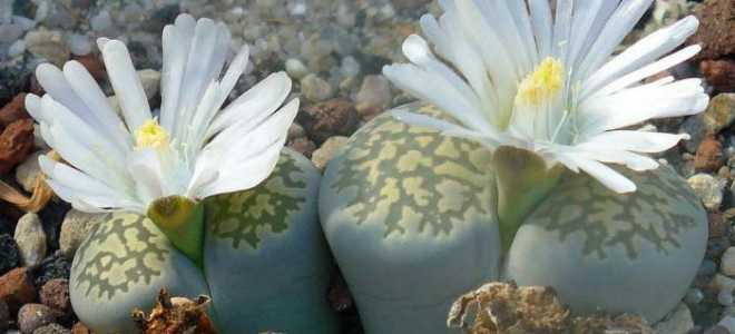 Уход за цветком живые камни литопсы
