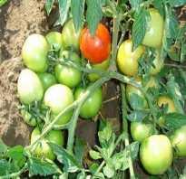 Какие сорта томатов хороши для Подмосковья