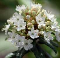 Багульник — опьяняющее растение