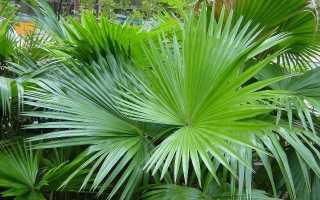 Уход за пальмой ливистона в домашних условиях