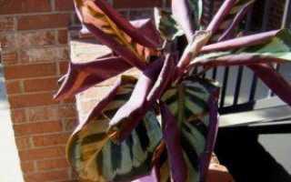 Почему у калатеи сохнут и скручиваются листья