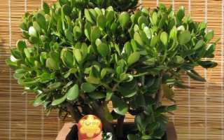 Как правильно ухаживать за денежным деревом толстянкой
