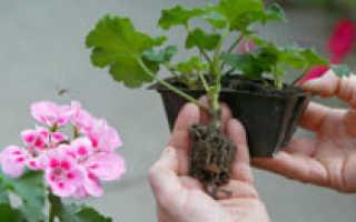 Размножение герани черенками в домашних условиях