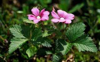 Ягода княженика — растение для приусадебного участка