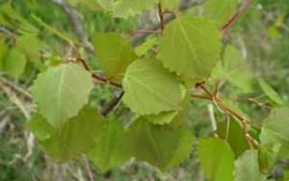 Осина обыкновенная: как выглядит дерево, листья и плоды