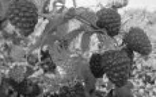 Какие сорта ремонтантной малины выбрать для высокого урожая