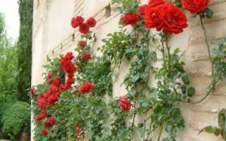 Подготовка роз к зимовке и способы укрытия на зиму в Подмосковье
