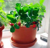 Способы выращивания клубники в домашних условиях