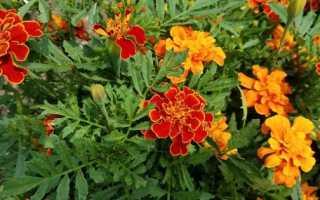 Красивые и неприхотливые однолетние цветы